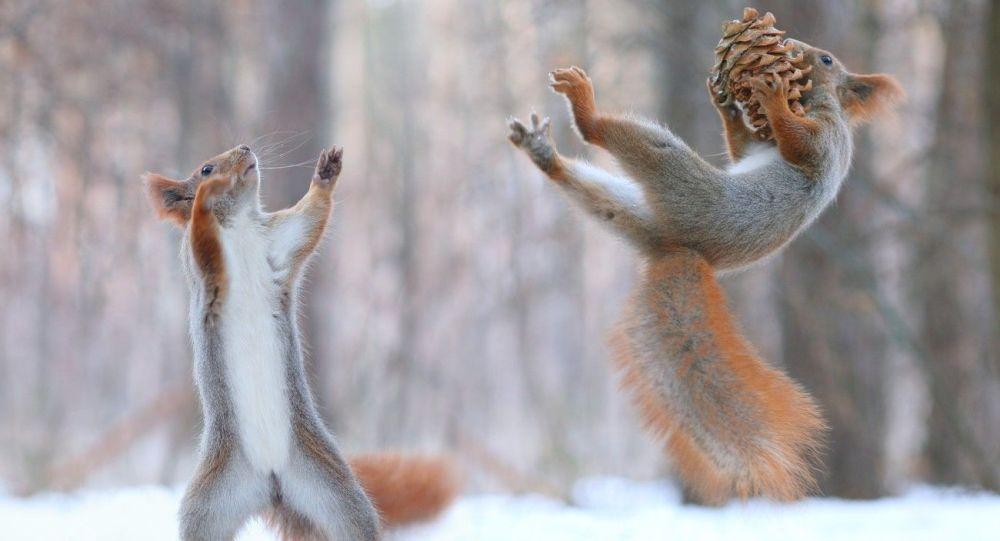 حضور یک سنجاب در رقابتهای المپبک زمستانی + ویدئو