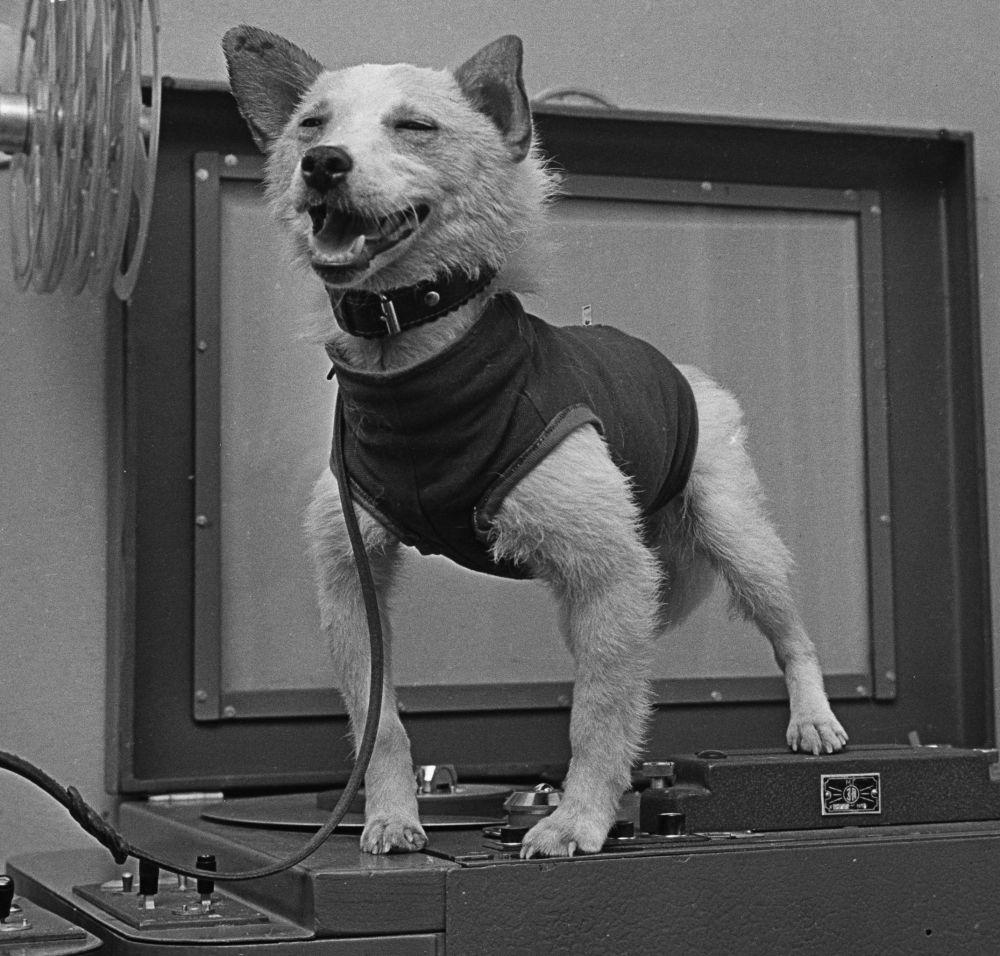 بلکا، سگ فضانورد