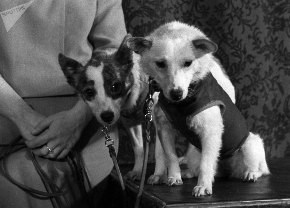 بلکا و استرلکا ، سگ های فضانورد شوروی، سال 1960