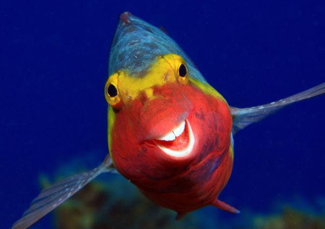 برگزیدگان مسابقه عکاسی کمدی حیات وحش  ماهی خندان توسط «آرتور تله تیمان»