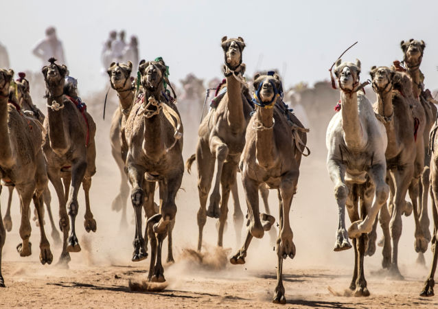 مسابقه شتردوانی در صحرای سینا ی جنوبی، مصر