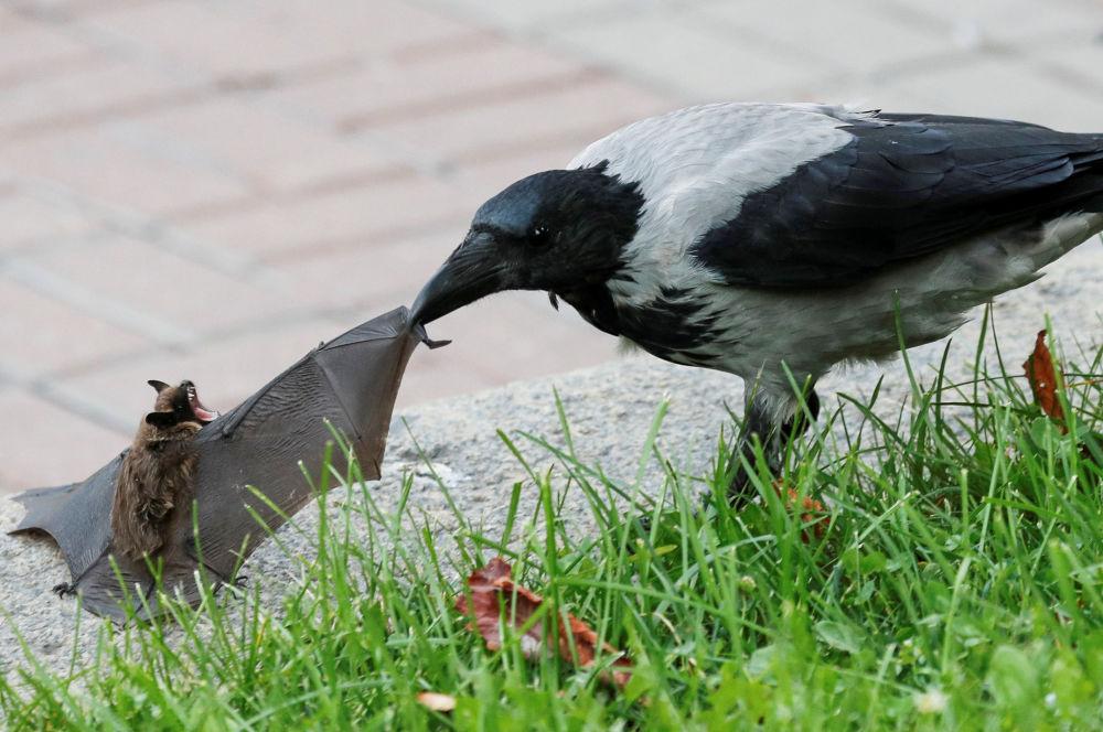 دعوای کلاخ و خفاش در مرکز کی یف