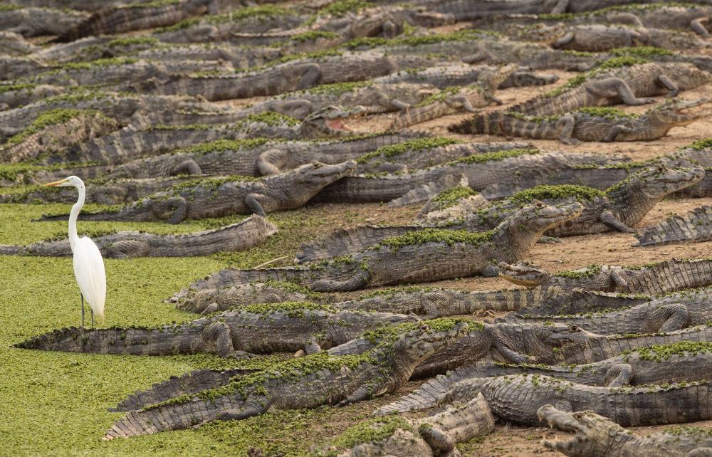 تمساح ها و حواصیل سفید در ساحل برزیل