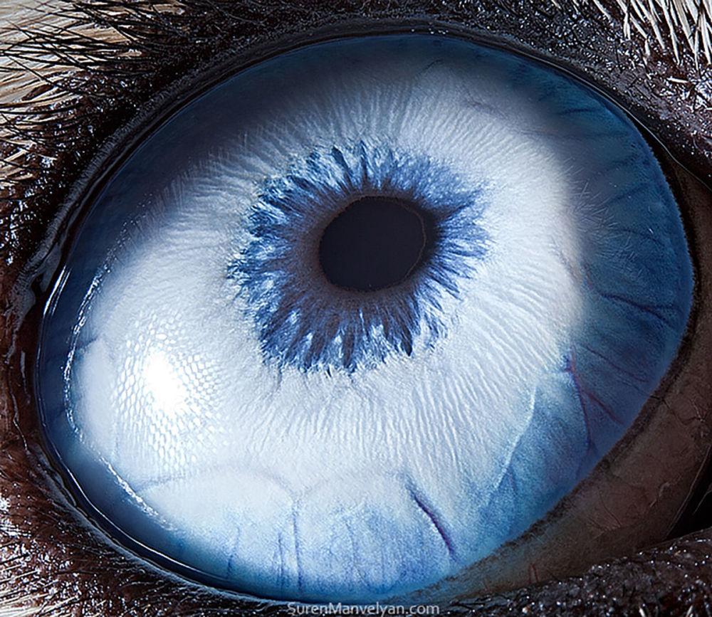 دنیایی زیبا در درون چشمان حیوانات در عکس های سورن مانولیان، عکاس ارمنی چشم سگ نژاد هاسکی