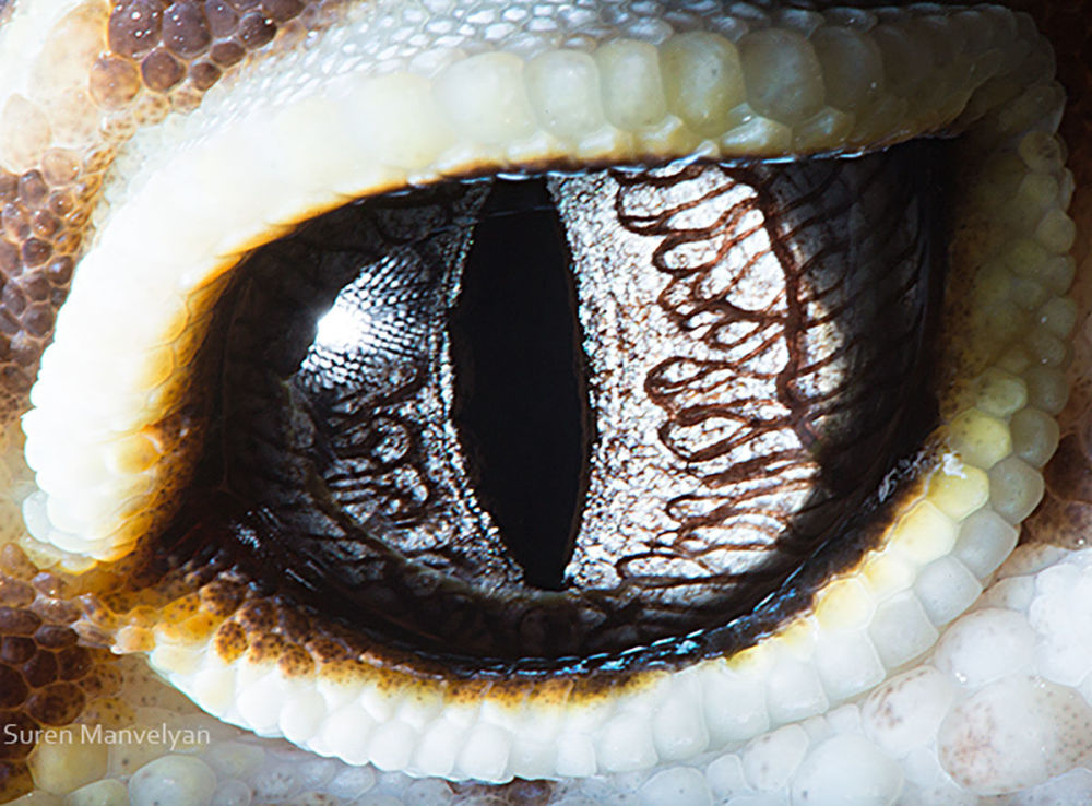 دنیایی زیبا در درون چشمان حیوانات در عکس های سورن مانولیان، عکاس ارمنی چشم مارمولک