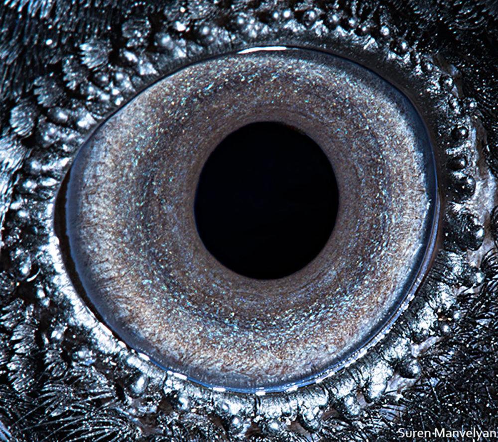 دنیایی زیبا در درون چشمان حیوانات در عکس های سورن مانولیان، عکاس ارمنی چشم کلاغ