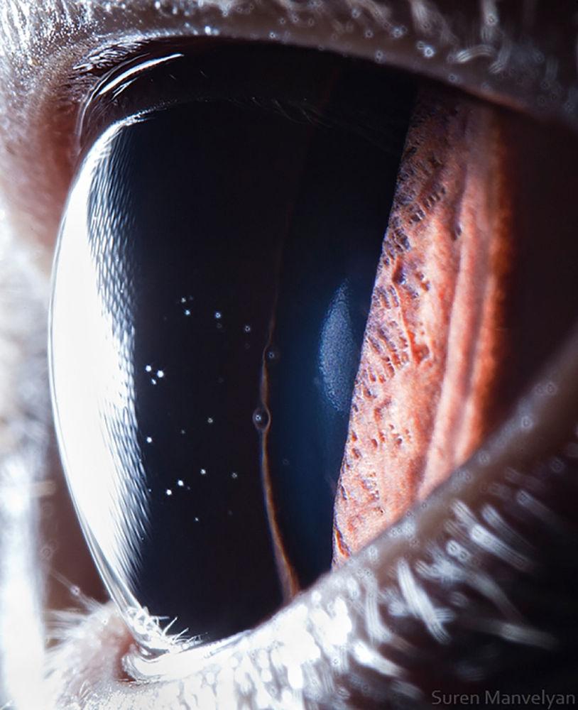 دنیایی زیبا در درون چشمان حیوانات در عکس های سورن مانولیان، عکاس ارمنی چشم گربه بریتانیایی