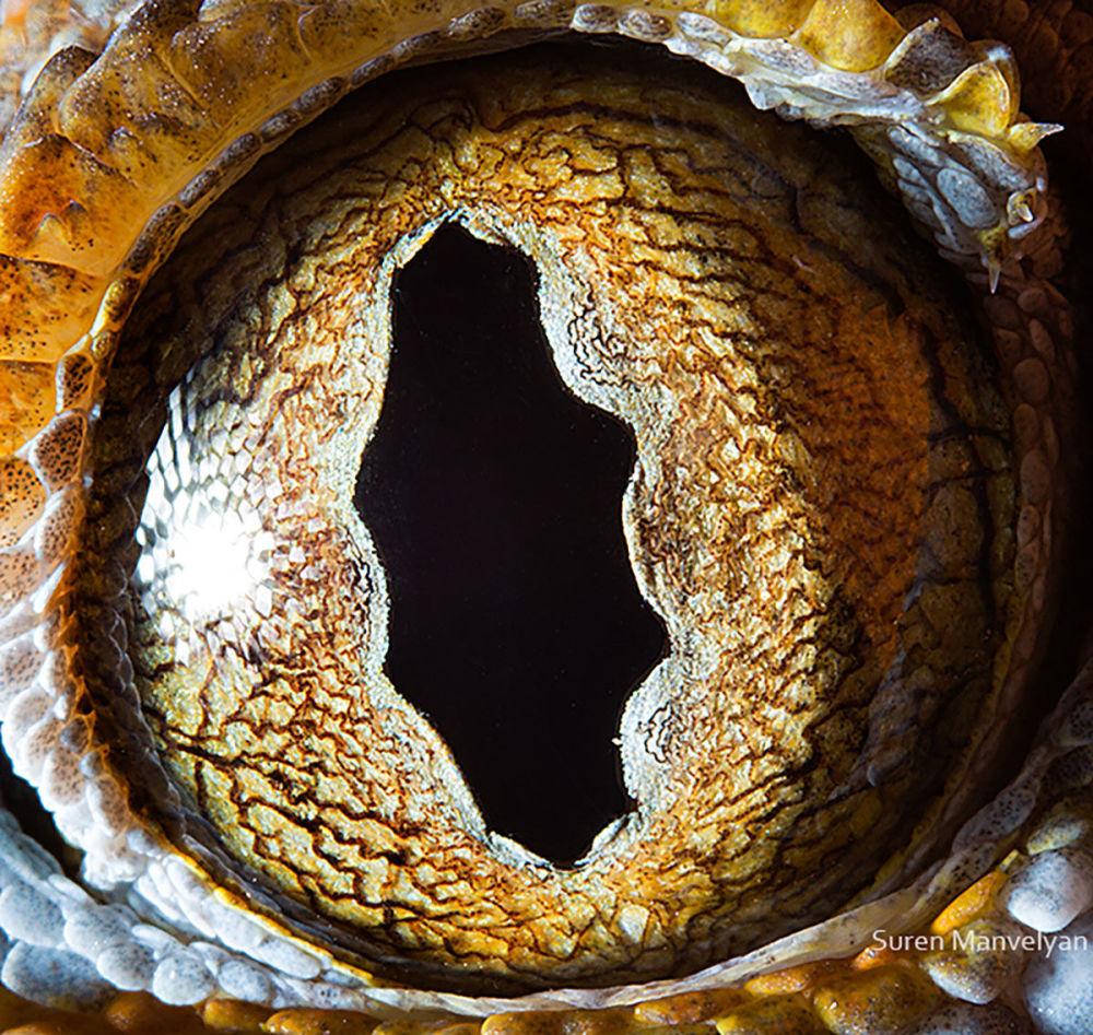 دنیایی زیبا در درون چشمان حیوانات در عکس های سورن مانولیان، عکاس ارمنی چشم گکو