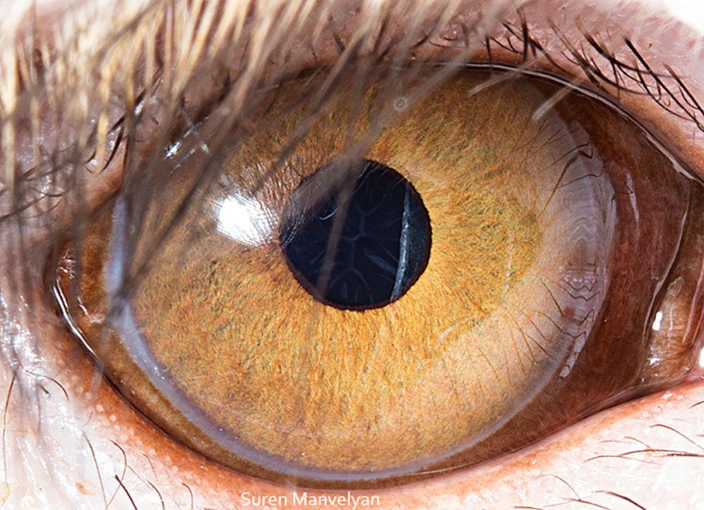 دنیایی زیبا در درون چشمان حیوانات در عکس های سورن مانولیان، عکاس ارمنی چشم میمون رزوس