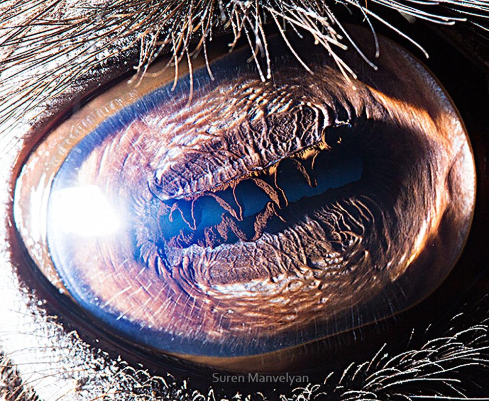دنیایی زیبا در درون چشمان حیوانات در عکس های سورن مانولیان، عکاس ارمنی چشم شتر