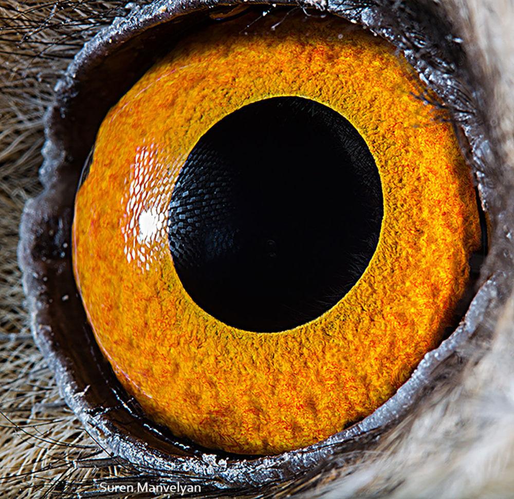 دنیایی زیبا در درون چشمان حیوانات در عکس های سورن مانولیان، عکاس ارمنی چشم جغد
