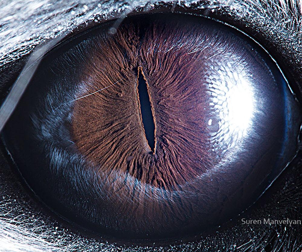 دنیایی زیبا در درون چشمان حیوانات در عکس های سورن مانولیان، عکاس ارمنی چشم چینچیلا