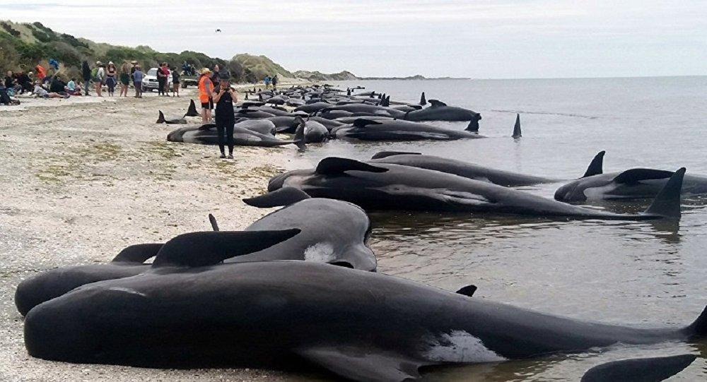 سنت خونین سلاخی دلفینها توسط دانمارکیها (حاوی صحنههای دلخراش)