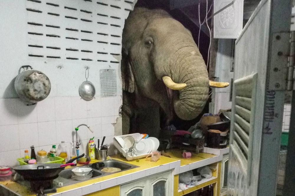 رویدادهای هفته به روایت تصویر  فیل در تایلند دیوار خانه را برای غذا سوراخ کرد