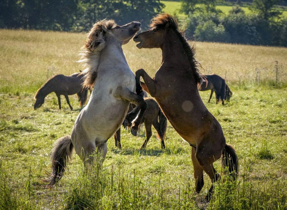 رویدادهای هفته به روایت تصویر  اسب های ایسلندی