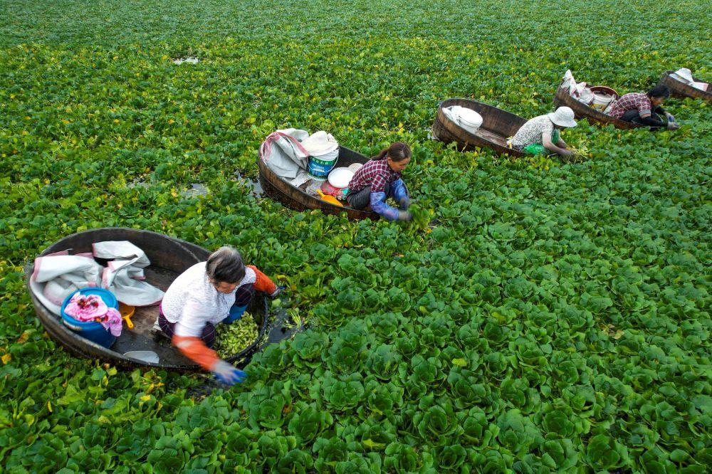 رویدادهای هفته به روایت تصویر برداشت محصول شاه بلوط آبی در چین