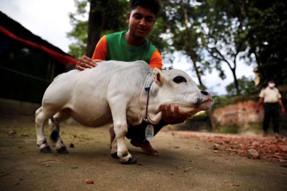رویدادهای هفته به روایت تصویر گاو کوتوله در بنگلادش