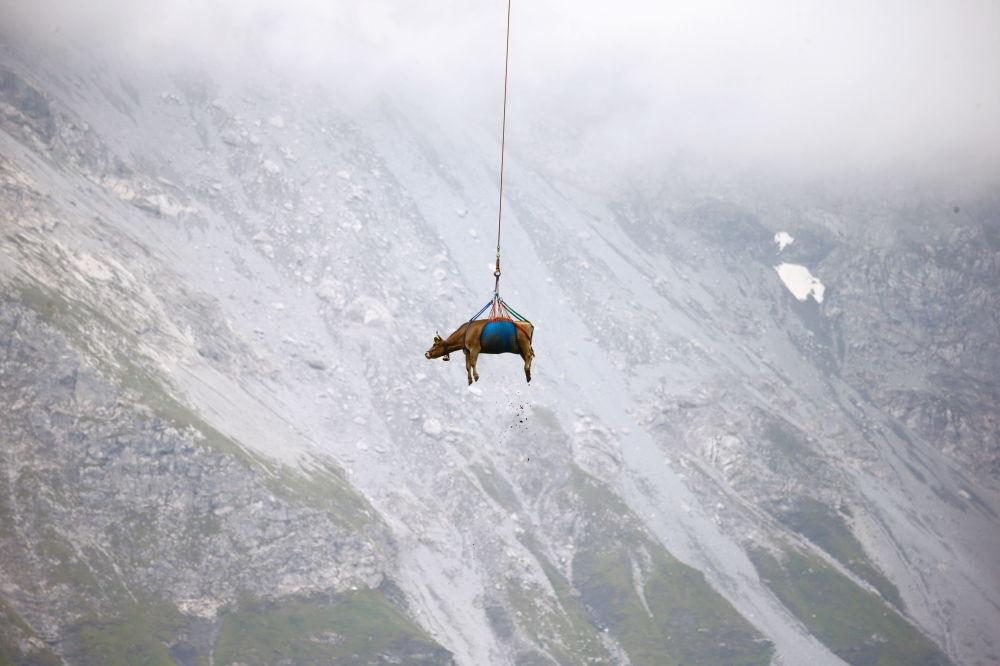 رویدادهای هفته به روایت تصویر پرواز گاو در سوئیس