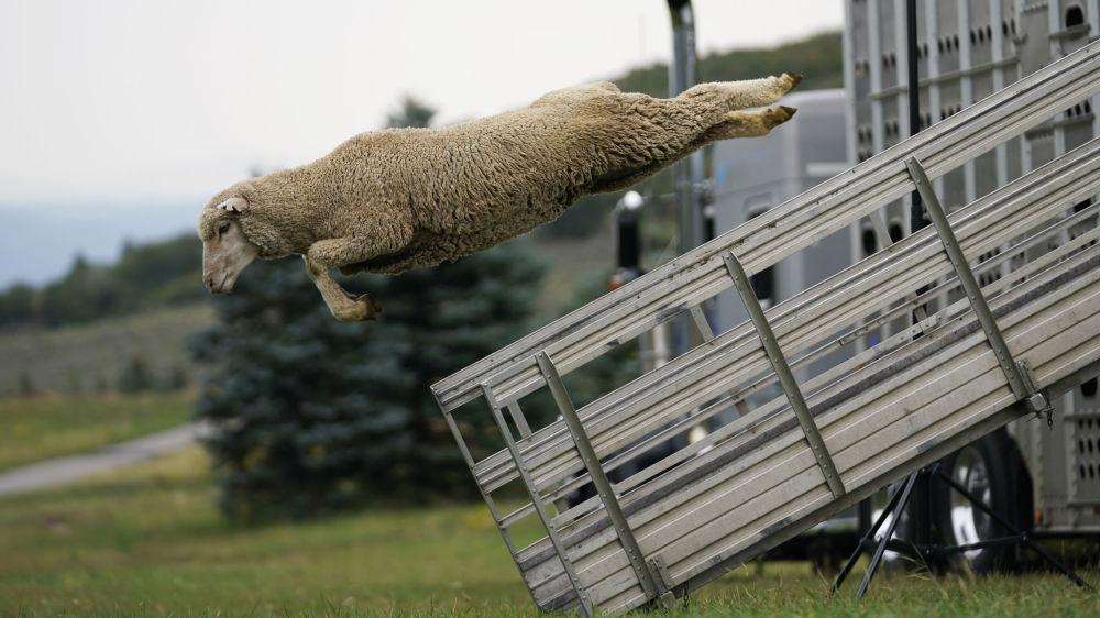 رویدادهای هفته به روایت تصویر پرش گوسفند آمریکایی