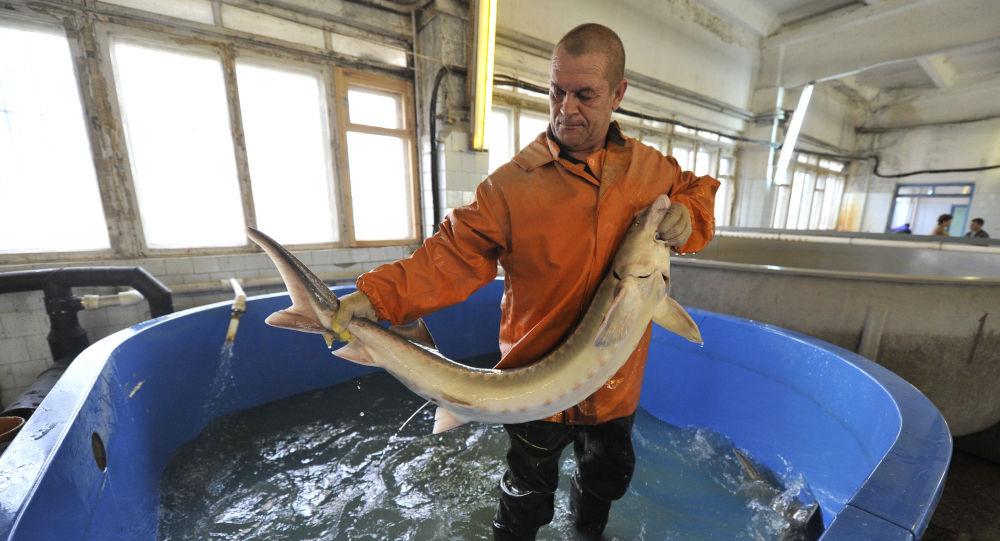 سازمان امنیت روسیه کانال قاچاق ماهیان خاویار به مسکو را مسدود کرد