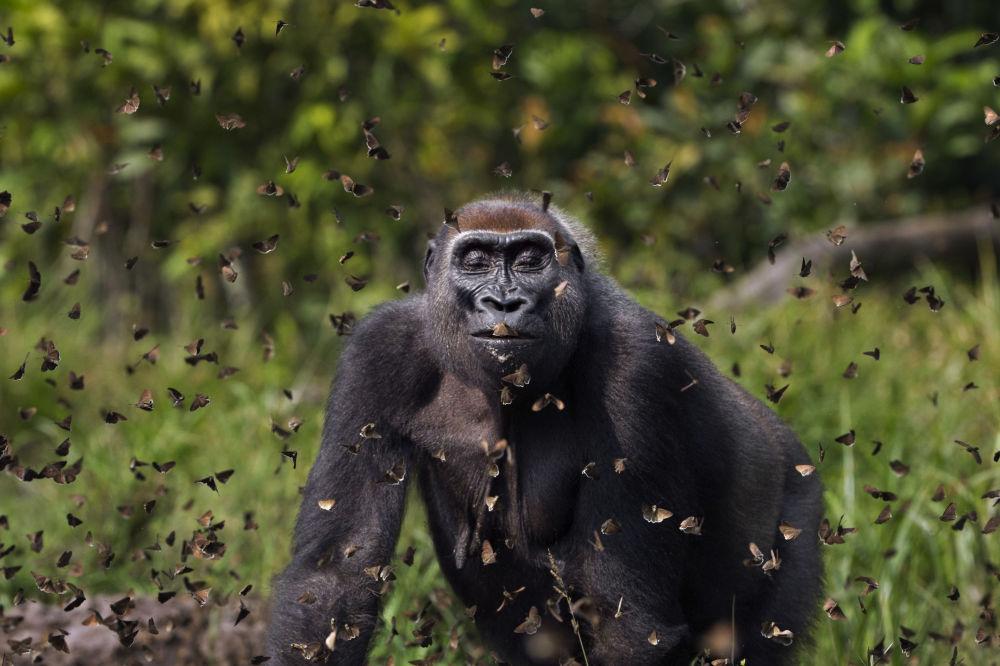 برندگان مسابقه «حفاظت از محیط زیست 2021» اعلام شدند آنوپ شاه، عکاس بریتانیایی وعکس گوریل در میان پروانهها