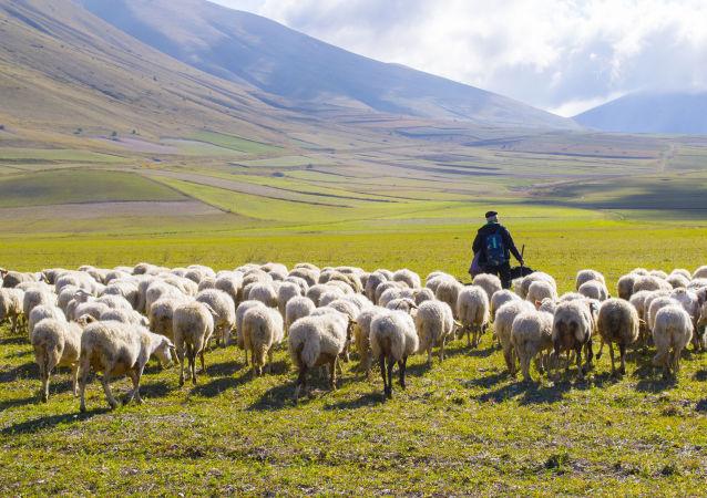 گوسفند عجیب با دهانی داخل گوشش