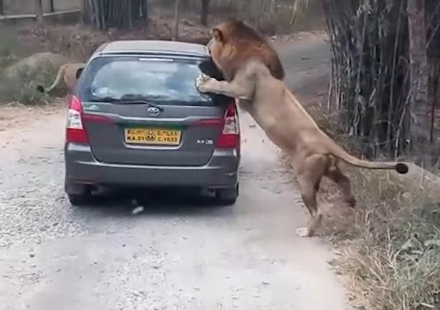حمله دو شیر به جهانگردان در هند (ویدئو)