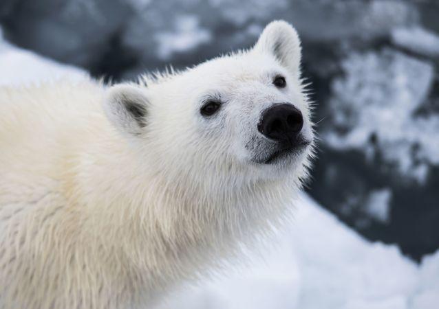 در باغ وحش برلین یک خرس قطبی متولد شد+ ویدیو