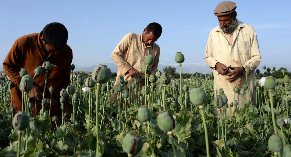 کوزمین: افعانستان پیشرو در تولید مواد مخدر خواهد شد