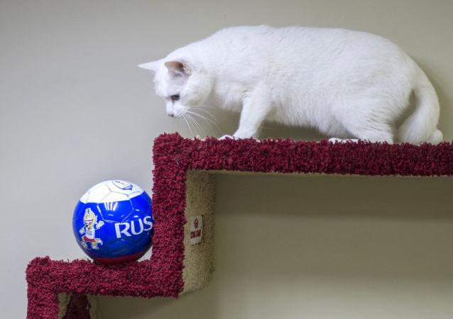 گربه ارمیتاژی به نام «آخیل» نتیجه مسابقات جام جهانی فوتبال را پیش بینی می کند