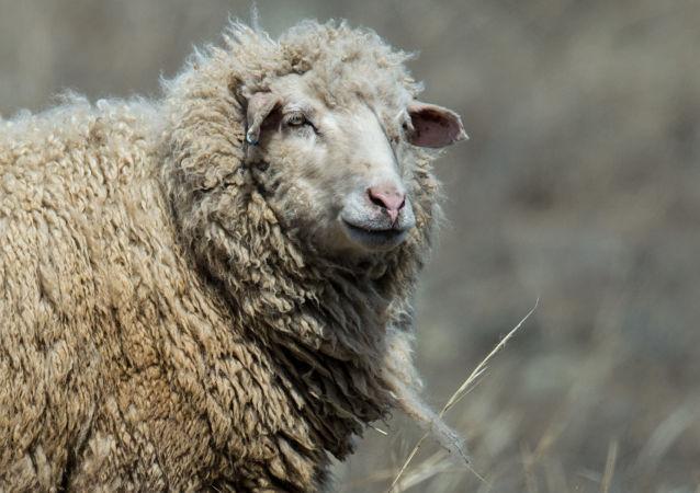 فرود اضطراری هواپیمای حامل گوسفند در ایران+ویدیو