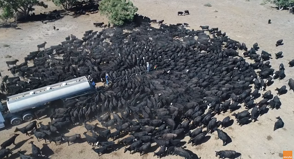 The Thirst is Real: Australian Cattle Queue up to Water Tank