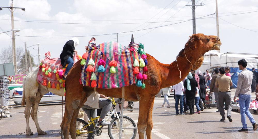 شتر ایرانی
